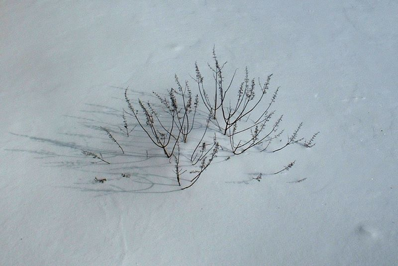 Vitex in snow