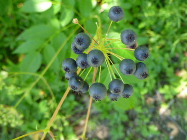 Aralia hispida berries