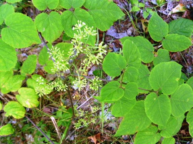 Aralia racemosa Spikenard