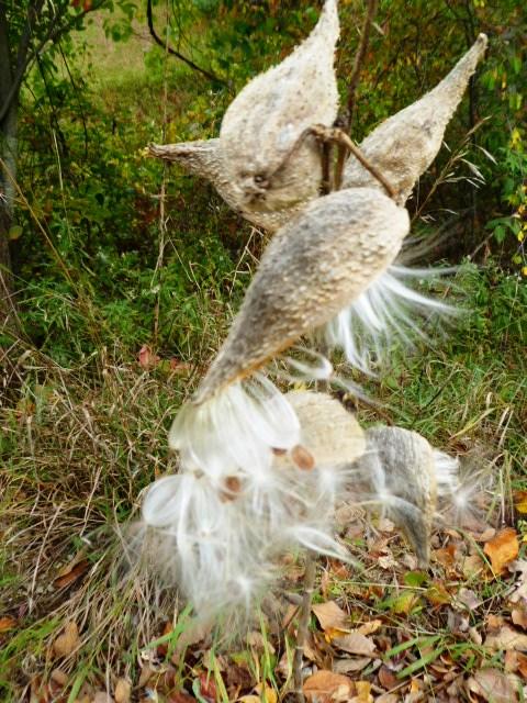 Milkweed magick