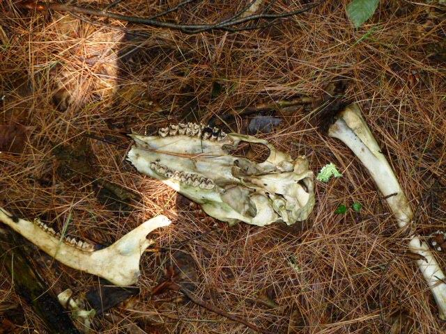 Deer bone