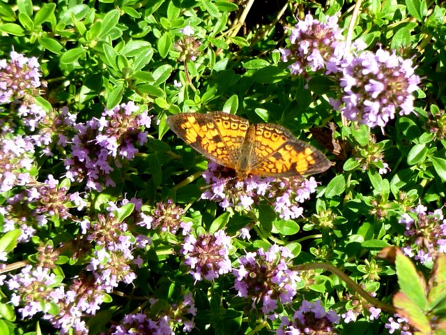 Butterfuly on Thyme
