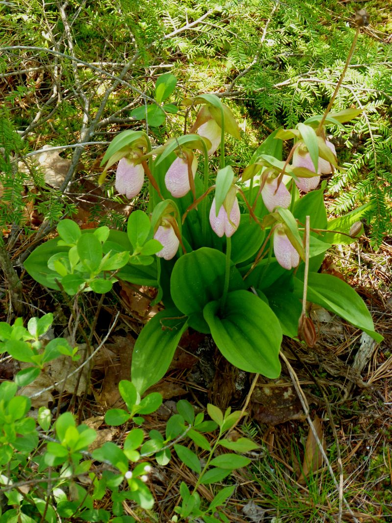 Lady Slipper Committee