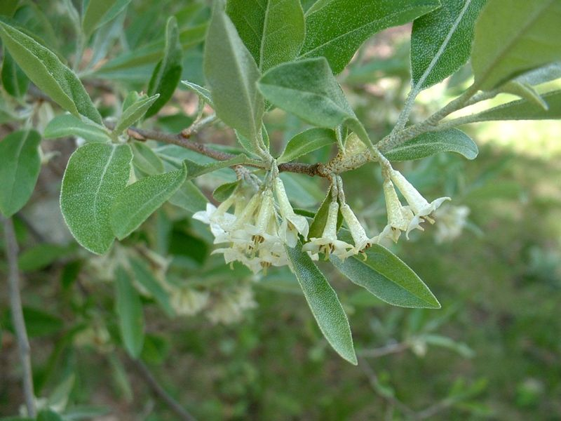 Autumn Olive flowers