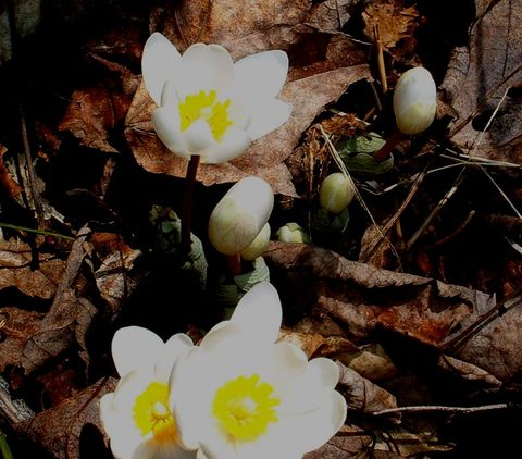 Bloodroot_emerges