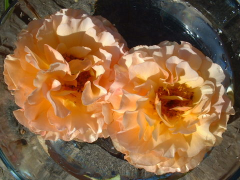Roses_037