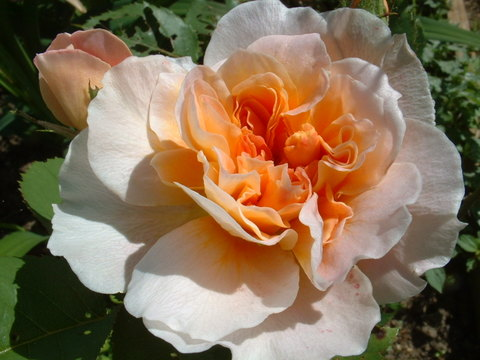 Rose_unknown_david_austin_type