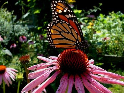 Monarch_on_echinacea