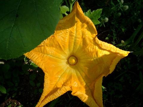 Pumpkin_flower