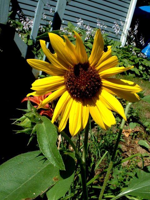 Sunny_sunflower