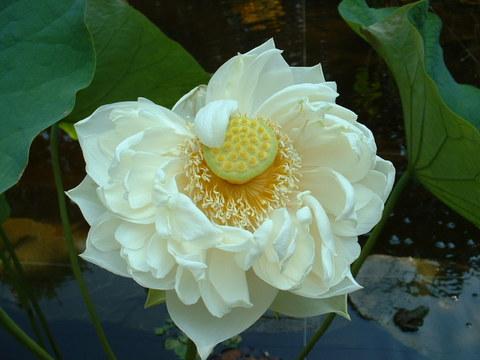 Lughnassadh_white_lotus_001