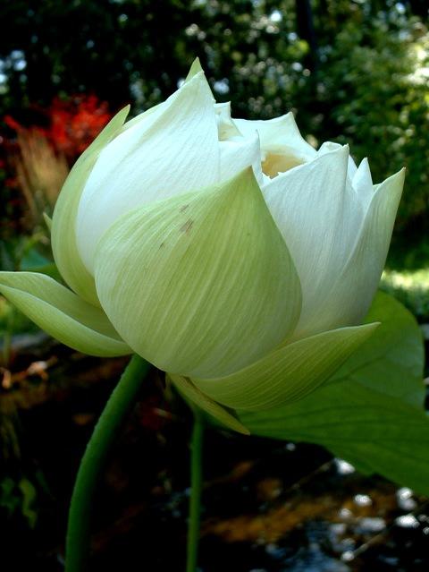 White_lotus_chalice