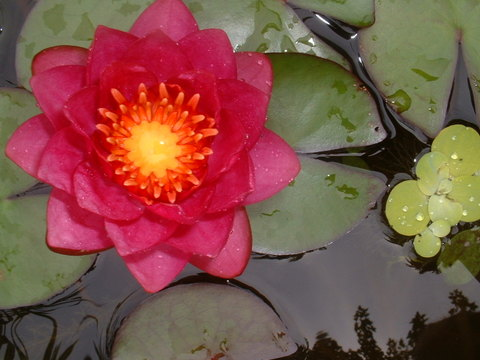 August_1_waterlily_008