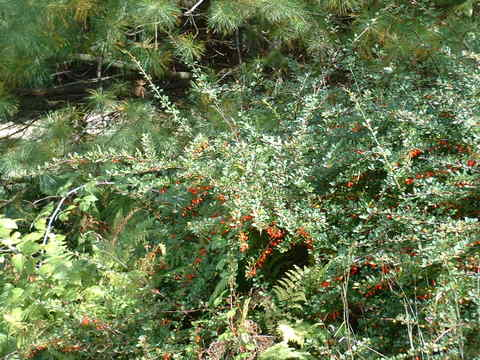 Barberry_berries