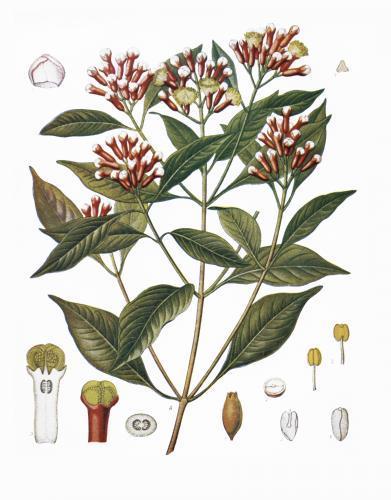 Cloves_botanical