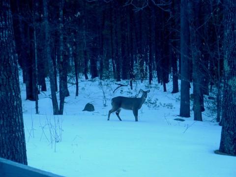 Deer_at_twilight