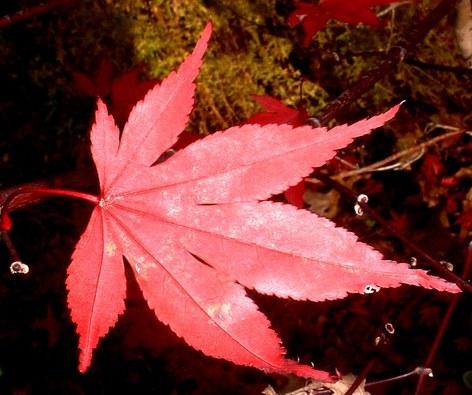 Japanese_maple_leaf