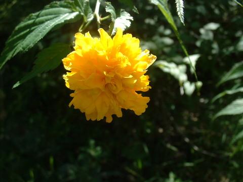 Kerria_japonica_rebloom