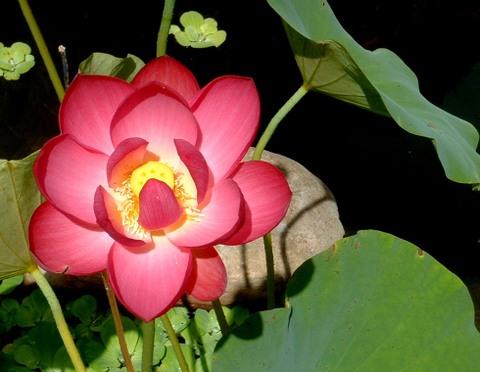 Last_bud_of_red_lotus_005