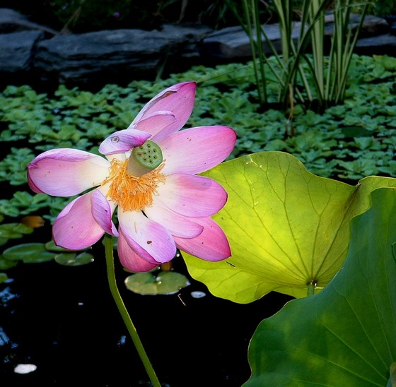 Lotus_fades
