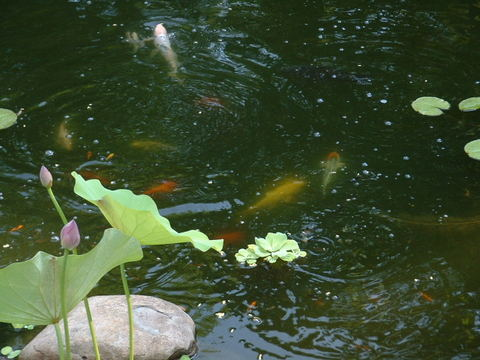 Lotus_feeding_frenzy