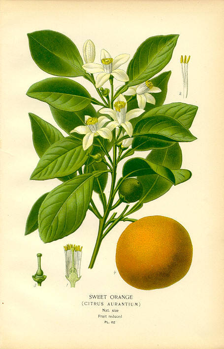 Orange_botanical_1