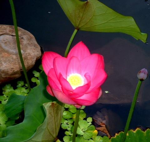 Red_lotus_blooms