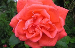 Sparklinglotus_tropicana_rose